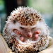 Download Hedgehog Wallpaper 1.0 APK