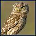 Download Owl Sounds - Coruja 1.0 APK