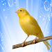 Download canary song  APK